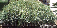 Adenium seedlings