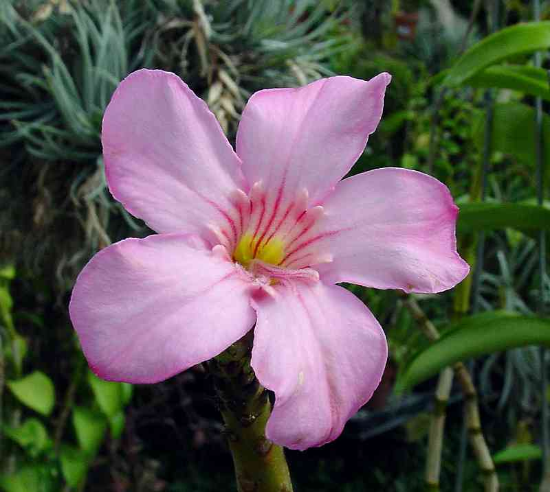 Adenium other pictures mightylinksfo